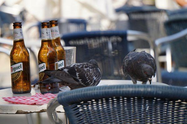Niederländische Tauben beim Feierabendbier. Wohlverdient.